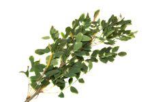 Free Acacia Royalty Free Stock Photos - 5854008