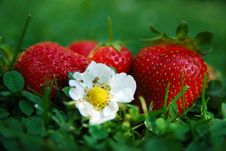 Free Strawberry Stock Images - 5854144