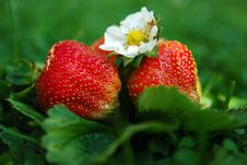 Free Strawberry Stock Images - 5854154