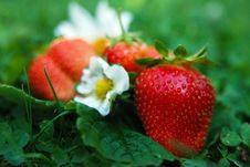 Free Strawberry Royalty Free Stock Photography - 5854177