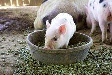 Baby Piglet Playing In His Bowl Of Food Royalty Free Stock Image
