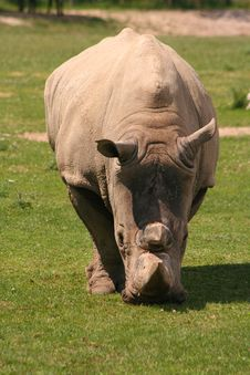 Free White Rhinoceros Royalty Free Stock Photos - 5854618