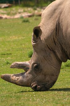 Free White Rhinoceros Royalty Free Stock Image - 5854686