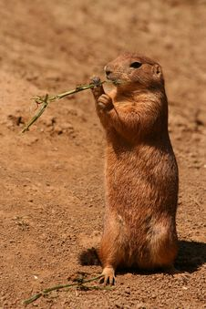 Free Prairie Dog Royalty Free Stock Images - 5854809