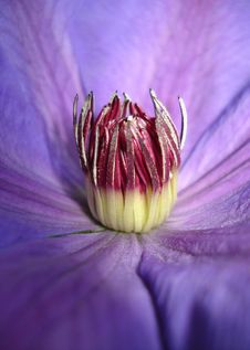 Free Clematis Xerxes Royalty Free Stock Photography - 5855087