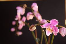 Free Moth Orchid (Phalaenopsis Orchidaceae) Stock Photography - 5855312