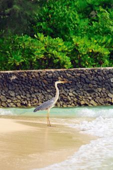 Free Grey Heron At The Beach Royalty Free Stock Photography - 5855597