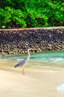 Free Grey Heron At The Beach Royalty Free Stock Photo - 5855695