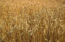 Free Gold Wheat Stock Photos - 5857103