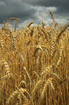 Free Wheat Field And Dark Sky Royalty Free Stock Photo - 5857175