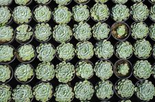 Young Succulents Royalty Free Stock Photography