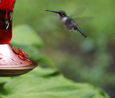 Free Ruby Throated Hummingbird Stock Photography - 5857982