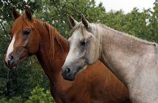Free Arabian Colts Royalty Free Stock Image - 5858886