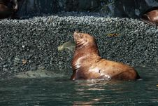 Free Steller Sea Lion Stock Photography - 5858982