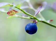 Free Bilberry Royalty Free Stock Photography - 5859127
