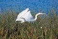 Free Egret In Flight. Stock Image - 5861161