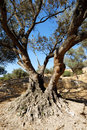 Free Aged Olive Tree Stock Images - 5866834