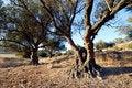Free Aged Olive Tree Royalty Free Stock Photo - 5866865