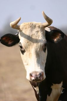 Free Cow Stock Photography - 5860432