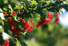 Red Currant Stock Photography