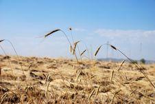 Free Wheat Field Stock Image - 5860681