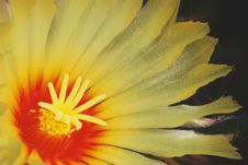 Free Astrophytum Yellow Flower Stock Photos - 5860833