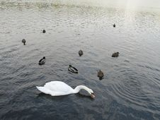 Free Swan And Ducks On A Lake Royalty Free Stock Photos - 5860868