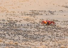 Red Crab Eating Royalty Free Stock Images
