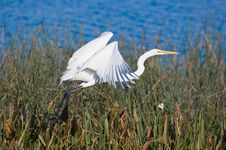 Free Egret In Flight. Stock Image - 5861161