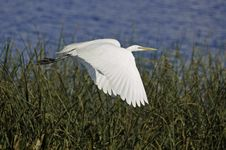 Free Egret In Flight II. Stock Photography - 5861202