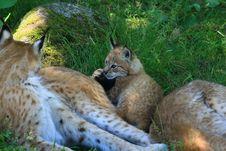 Free Lynx Stock Image - 5861341