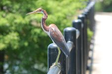 Heron On A Fence Royalty Free Stock Photos