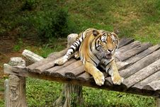 Free Bengal Tiger Stock Photo - 5861740