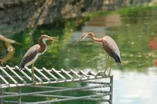 Free Two Herons On A Grate. Stock Image - 5861741