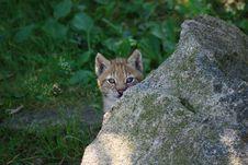 Free Lynx Stock Photos - 5861983