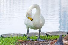 Free Swan At Lake Eola Royalty Free Stock Image - 5862056