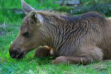 Free Elk Royalty Free Stock Images - 5862089