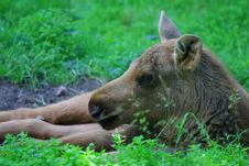 Free Elk Royalty Free Stock Photos - 5862218
