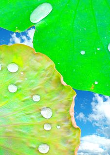 Free Lotus Leaf With Dew Stock Photo - 5862260