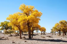Free Golden Yellow Poplar Tree And Blue Color Sky Stock Photos - 5862323