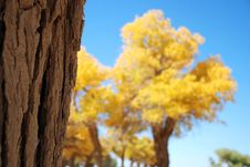 Free Golden Yellow Poplar Tree And Blue Color Sky Royalty Free Stock Images - 5862339