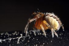 A Fat Spider Royalty Free Stock Photo