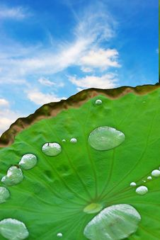 Free Lotus Leaf With Dew Royalty Free Stock Photo - 5863955