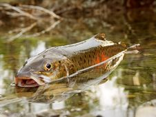 Free Fish Taymen Caught On Fishing Royalty Free Stock Images - 5863959
