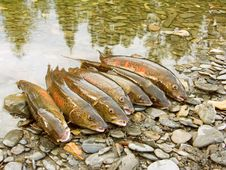 Free Fish Taymen Caught On Fishing Stock Photos - 5863973