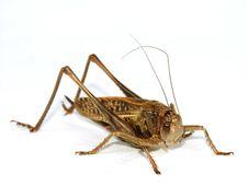 Free Locust Stock Photography - 5864052