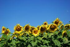 Free Sunflower Stock Image - 5864391