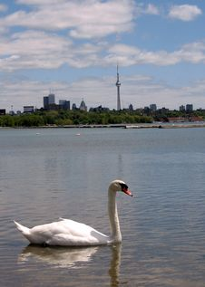 Free Toronto Lake CN Tower And Swan 2008 Stock Photos - 5865233