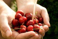 Hand Full Of Fresh Cherries Royalty Free Stock Images