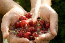 Hand Full Of Fresh Cherries Royalty Free Stock Image
